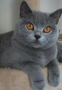 British Shorthair Breeders Australia - British Shorthair Kittens for sale