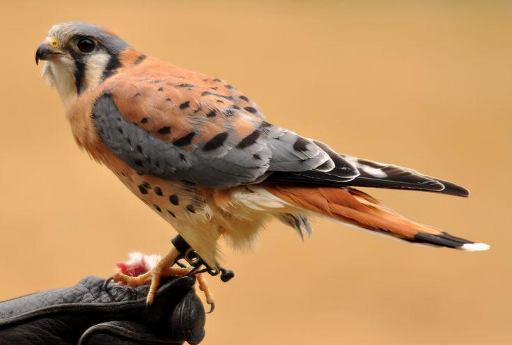 American Kestrel Falco sparverius - Google zoeken