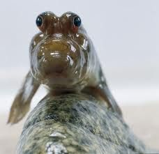 Mudskipper. To me is like the beginning of Fish starting to walk on land and become Terestrial Verterbrates.