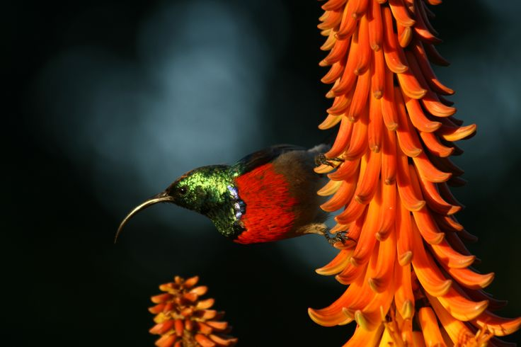 Amazing picture of a Collared Sunbird taken on Amakhala Game Reserve. Photographed by Quatermains Camp. #amakhala #birdlife #southafrica