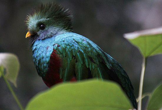 Pássaro quetzal é uma espécie quase extinta que é preservada em parque no México; veja galeria de fotos