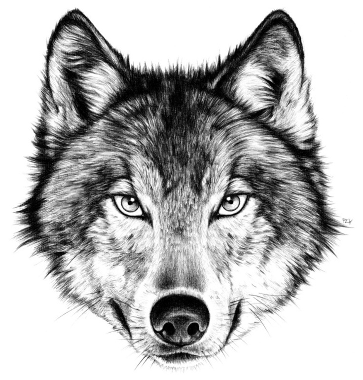 Line Drawing Wolf Head : The wolf next door throw pillow by florever drawings