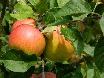Malus domestica 'Gala' (Gala appel) Malus domestica 'Gala', laagstam (Gala appel, laagstam appelboom wortelgoed)  De latijnse naam van de appelboom Gala is Malus domestica Gala.  Gala appel, Handappel, zacht zuur, Rijptijd: eind september, Uiterlijk: tamelijk klein, gele ondergrond met oranjerode tot helderrode gestreepte blos, Vruchtvlees geelwit, stevig, sappig. Standplaats: zon/halfschaduw.