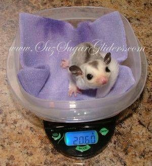 Information on Sugar Gliders, their Joeys and how to care for them ~ by a Sugar Glider Breeder.