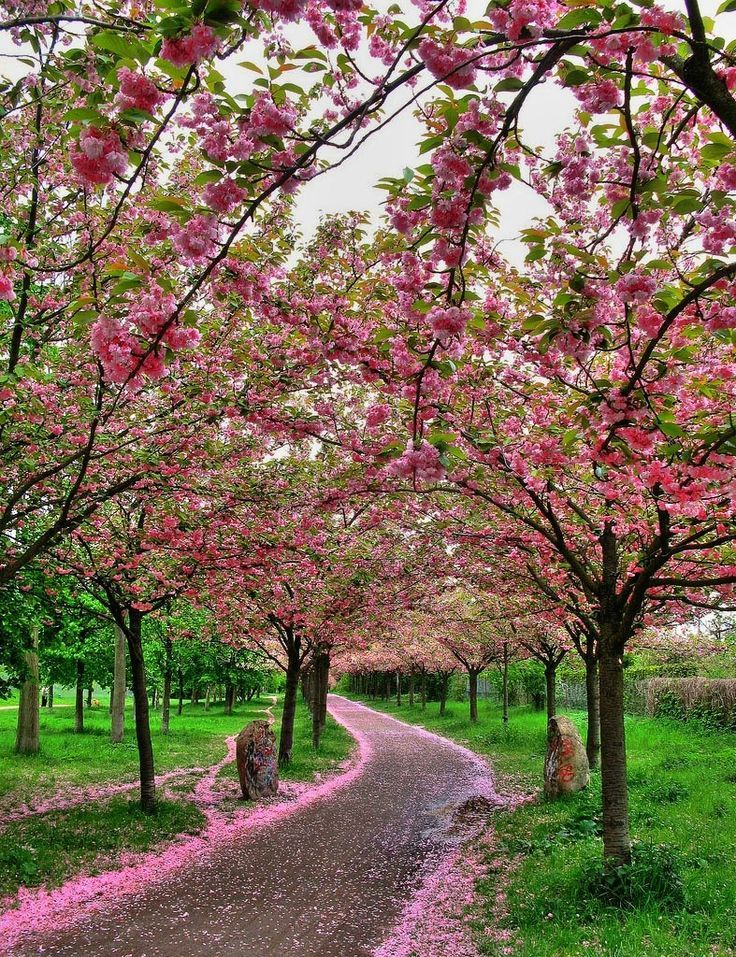 I want a long driveway lined with blossoming cherry trees or dogwoods