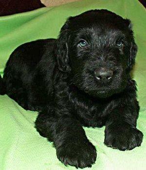 Black Russian Terrier breed info,
