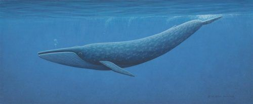 Blue whale Deep in ocean - Blue whale facts for kids