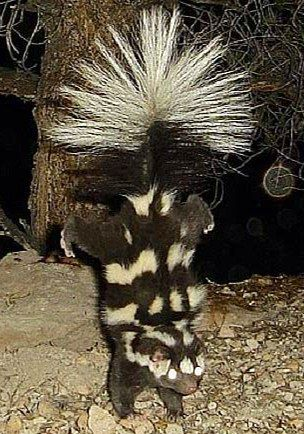 This one stands on his front legs! | SKANKY SKUNKS ...
