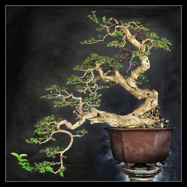 17 Best Images About Bonsai On Pinterest | Prunus, Bonsai Trees ... Alt Europaischer Stil Garten Design