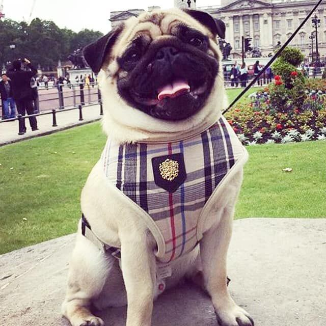 Beige Tartan Puppia Harness Available At Www Ilovepugs Co Uk Post