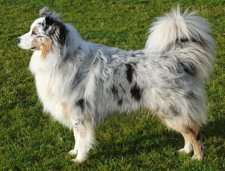 Australian Shepherds are like the best dogs ever i have two but not the same color as this one :) mine are black tri