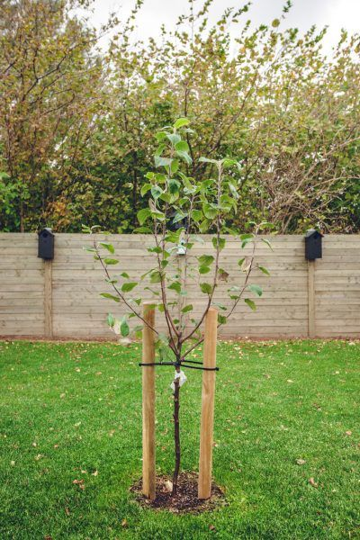 """Staking A Tree After Planting: Should You Stake A Tree Or Not Tree experts advise us today that tree staking after planting can and often does more harm to a tree. Do I need to stake a tree I am planting? The answer is usually not. For more information about the """"to stake a tree or not to stake a tree"""" issue, click this article."""