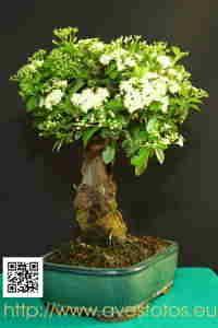 Bonsái de pyracantha con la floración de la primavera del 2009.