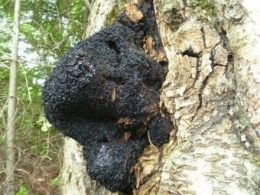 Making Chaga Mushroom Tea and How to Find Chaga from a Forest