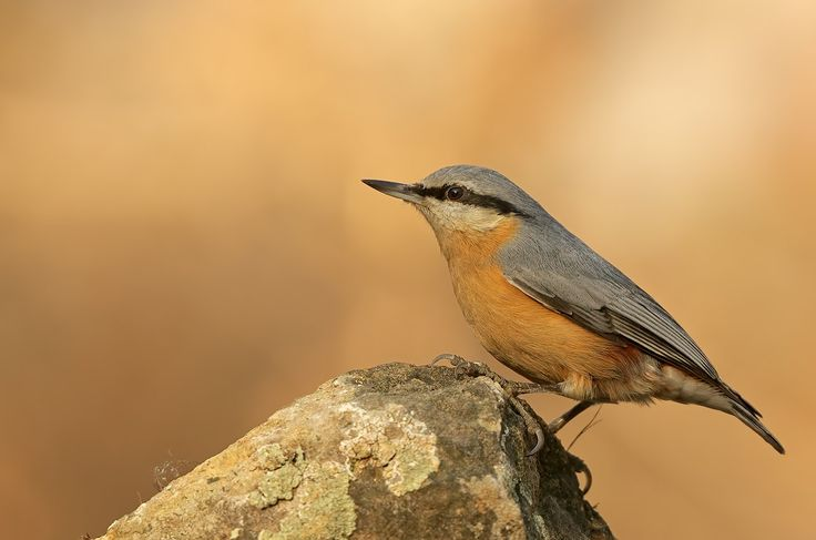 PENTAX Photo Gallery : Sitta europaea... - by Ogun Caglayan Turkay