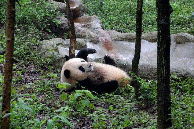 Centro de investigación y cría de Osos Panda de Chengdu