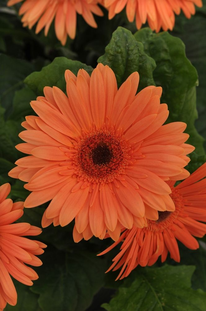 1000 images about gerbera on pinterest gerber daisies Where did daisies originate