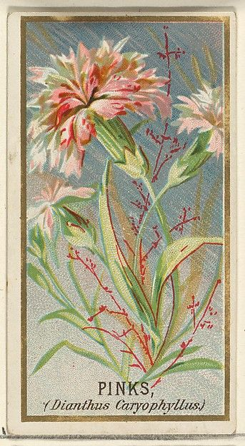 Pinks (Dianthus Caryophyllus), from the Flowers series for Old Judge Cigarettes