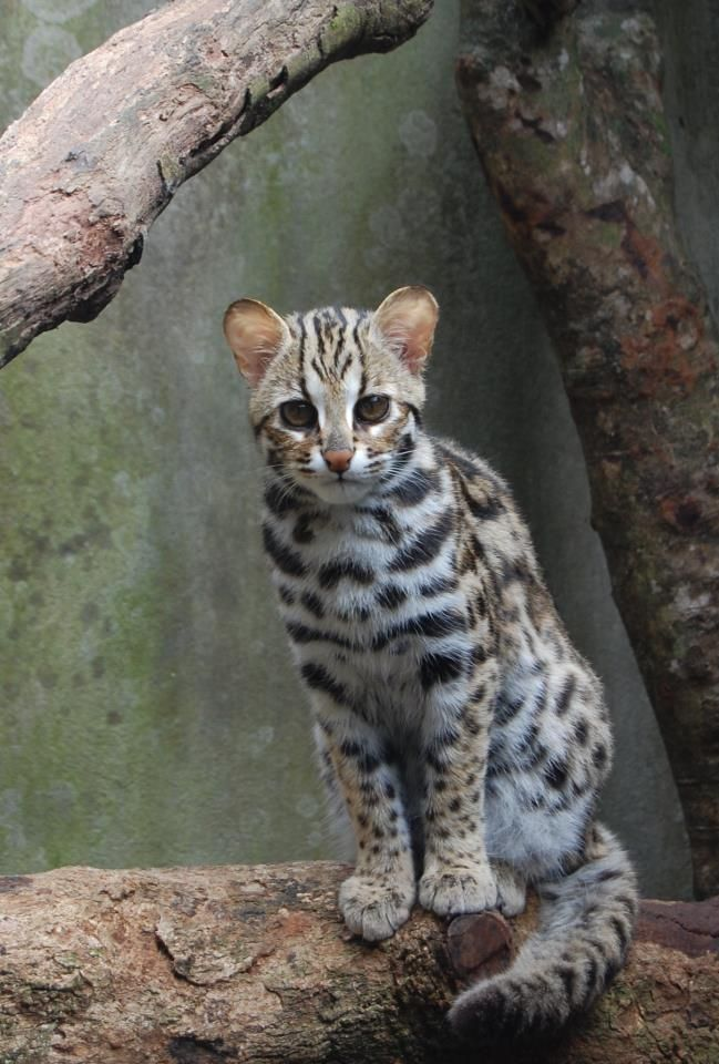 A rare Leopard Cat, these have recently been seen in the forests of Northern Burma (2013).