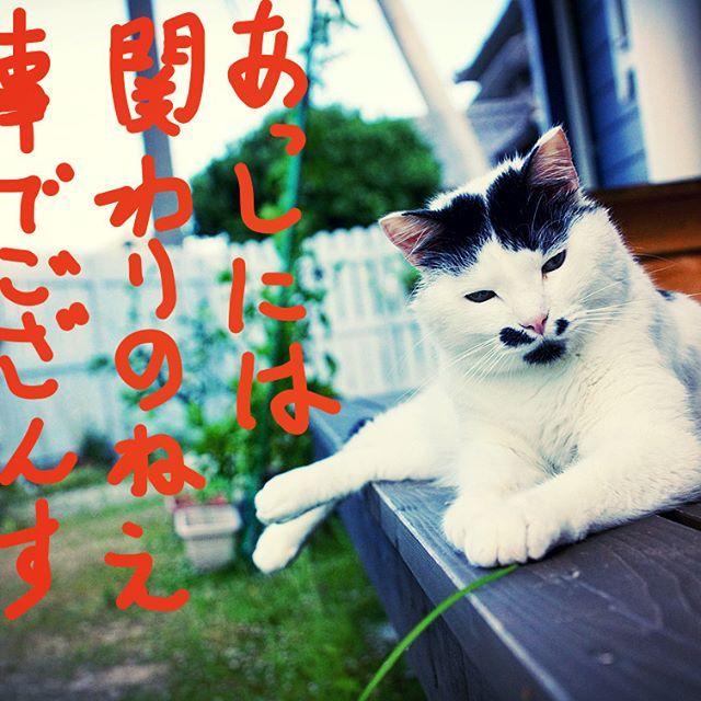 木枯らしハニ次郎( ͡° ͜ʖ ͡° ) (≧∇≦)カッコイー  #pet#cats#neko#ilovecat#にゃんこ#ネコラ部#モフモフ#保護猫#愛猫#love#lovely#cute#funny#meow#instacat#変顔#顔芸#kawaii#白黒猫#なんちゃってシャム#鍵しっぽ#sippo#猫写真#木枯らし紋次郎#