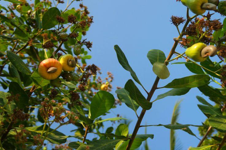 Reconnaissez-vous cet arbre aux mille bienfaits? Son nom est l'anacardier... Et son fruit est la noix de cajou. C'est la saison(youpi!)etje m'en…