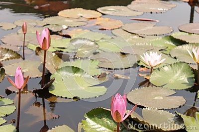 Water lilies blossom on pond in the garden