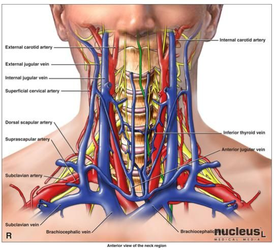 best 25+ subclavian artery ideas on pinterest | cranial nerve 2, Human Body