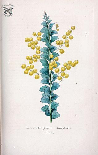 Golden-Glow Wattle. Acacia cultriformis. Herbier général de l'amateur…