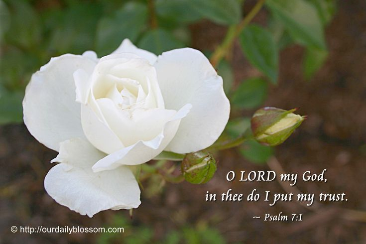 O LORD my God, in thee do I put my trust. ~ Psalm 7:1