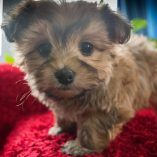 Morkie puppy for sale in KENT, OH. ADN-57159 on PuppyFinder.com Gender: Female. Age: 7 Weeks Old