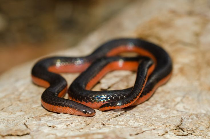 Carphophis vermis; Western Worm Snake