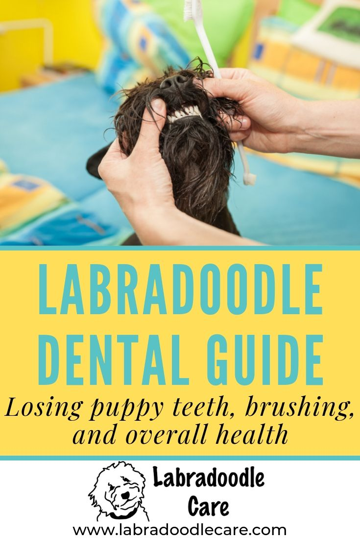 When Do Labradoodle Puppies Lose Their Teeth Brushing Guide Labradoodle Puppy Labradoodle Labradoodle Care