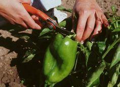 Récolter le poivron - P. Sanchez - Rustica