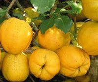 Травы жизни: ПРОФАЙЛЫ: Айва японская или Хеномелес (Chaenomeles...