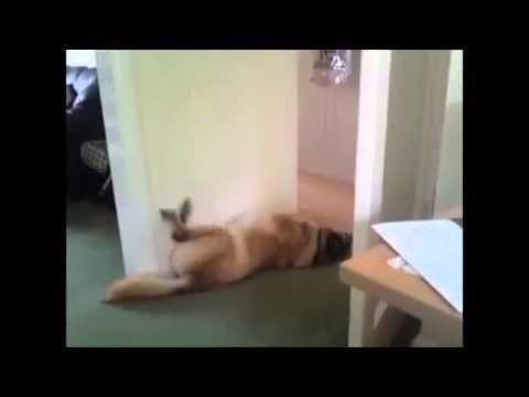 Compilation di cani che dormono ... provate a non ridereee!!!!! - YouTube