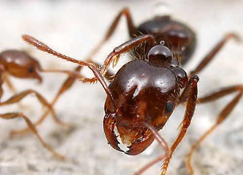 how to kill fire ants in house