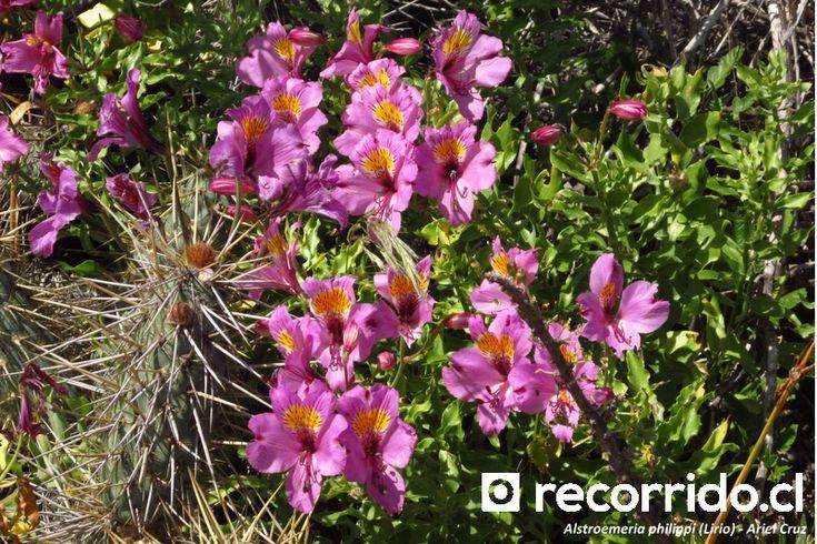 Lirio de campo (Alstroemeria philippi)
