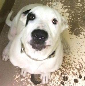 ADOPTED!!  Panama City, FL - Meet Argo, Male, Neutered, 5 months old, Bulldog Mix - White/Black,  looking for a forever home. He is LOCATED at the Humane Society of Bay County, Panama City, FL