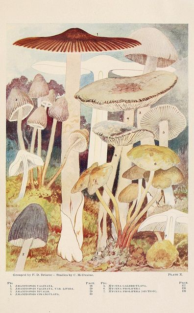 Toadstools, mushrooms, fungi--edible and poisonous via scientific illustration