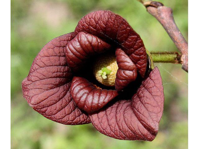 pawpaw asimina triloba awesome flowers pinterest. Black Bedroom Furniture Sets. Home Design Ideas