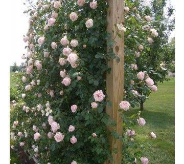 De prachtige klimroos New Dawn is een moderne grootbloemige roos. De roos is uitermate geschikt voor een rozen boog, langs een dakgoot of aan een pergola.