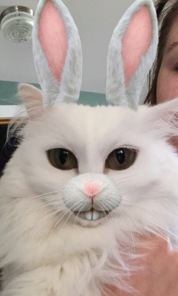follow me on IG missbettywhite2009 #cat #lol #whitecat #betch #bitch #longhairdontcare #funny #humor #animals #pets #rescue #bettywhite #snapchat #bunny #bunnyears #teeth #whiteteeth #photobomb #whiskers