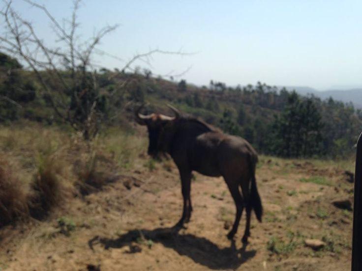 Wildebeest, PheZulu game park, Durban, South Africa