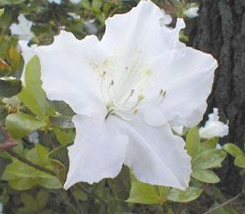 Rhododendron'Marie's Choice'