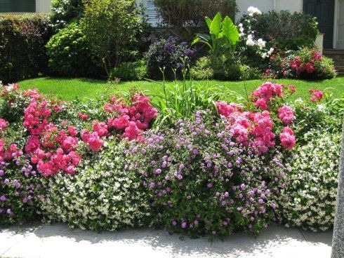 Here are pink carpet roses planted with low-growing white blooming Cotoneaster shrubs and purple Verbena 'Homestead Purple' perennials.    A few white Day-Lilies are planted toward the back.    This border is only two feet wide but adds lots of colorful and lasting beauty to this front yard.