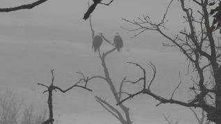 Live Bald Eagle Cam - Decorah, Iowa
