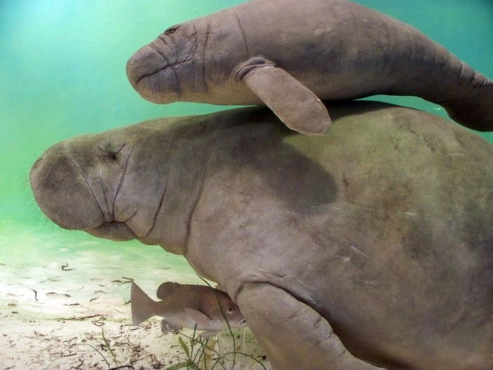 19. Crystal River State Park in Citrus County, FL:  Crystal River not only has some of the clearest water in Florida, it is also the only place you can legally swim up close with endangered manatees.