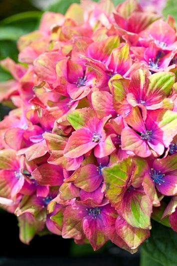 Hydrangea 'Schloss Wackerbarth'. Interesting, it's sort of a cross between bouganvillia and hydrangea. (If you know how to spell that I'll edit it, thanks!)