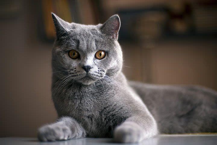 British Shorthair Mit Bildern Haustiere Katzen Katzenarten