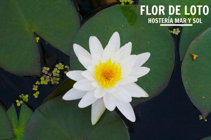 · Flor de Loto · En la #HosteríaMarySol preservamos la flora de la isla de #SanAndrés   #FlordeLoto #Hostería #Isla #Flora #Naturaleza